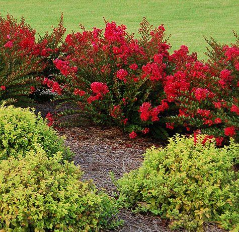 Cherry Dazzle Gardeners Confidence