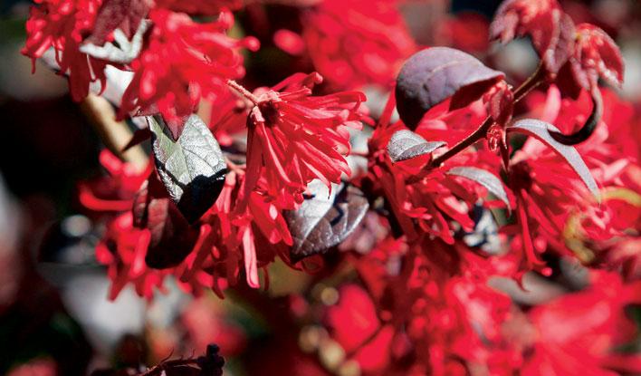 Ever Red Ever Red® Loropetalum