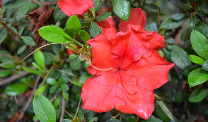 how to get azalea to bloom again