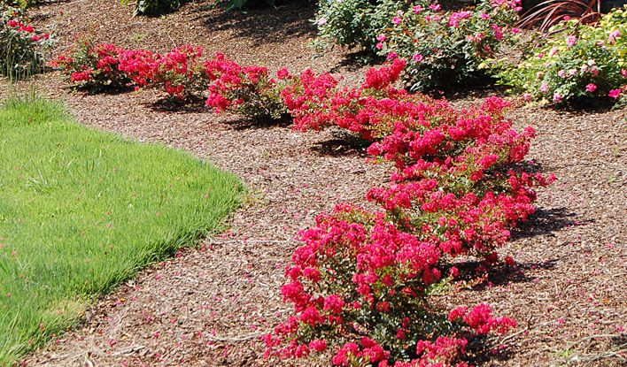 Companion Planting Of Cherry Dazzle And Pink Knock Out Rose
