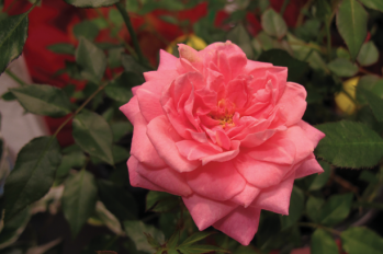 Sunrosa™ Fragrant Pink