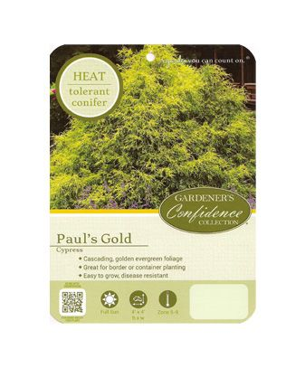 Paul's Gold Cypress