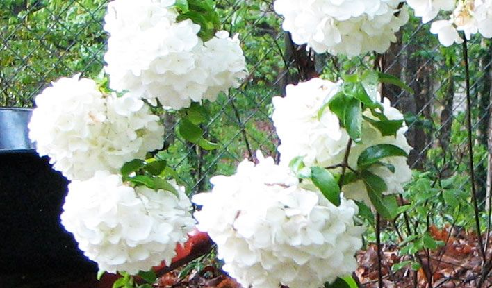 Snowball gardeners confidence collection snowball viburnum mightylinksfo