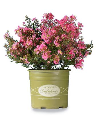 Sweetheart Dazzle®   Gardeners Confidence Collection®